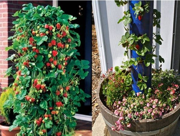 Vertical gardening is becoming very popular with urban, sub urban and rural gardeners alike. It saves space by growing upwards which keeps p...