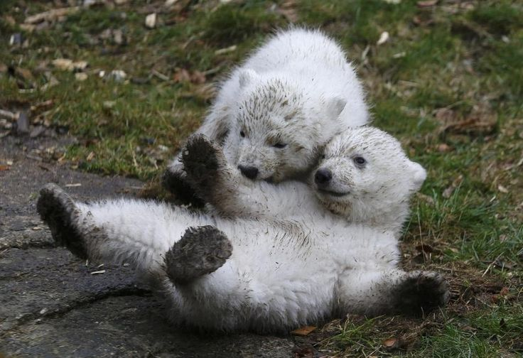 11 Photos Of Twin Polar Bears That Will Make Any Crappy Day Better