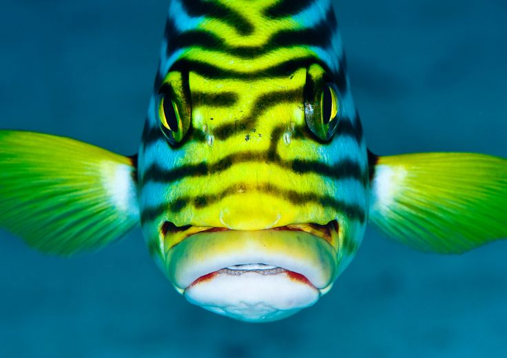 Oriental sweetlips sea life pinterest oriental so for Sweet lips fish