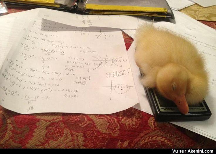Le canard s'est endormi sur la calculatrice - Duck fell asleep on my calculator