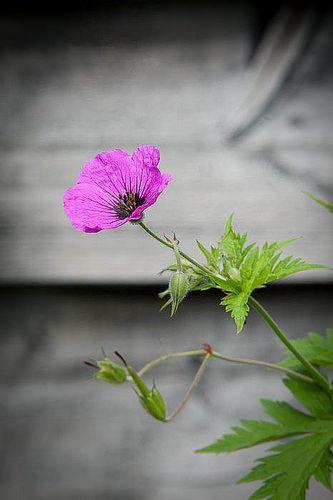 140615_056_Geranium psilostemon.jpg   Geranium psilostemon (…   Flickr