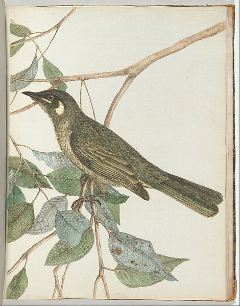 """John Levin, Yellow ear honeysucker, in """"Birds of New South Wales with their natural history"""", Sidney, G. Howe, 1813"""