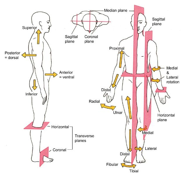 Free Diagrams Human Body | Diagram showing the chief terms of position and direction and the ...