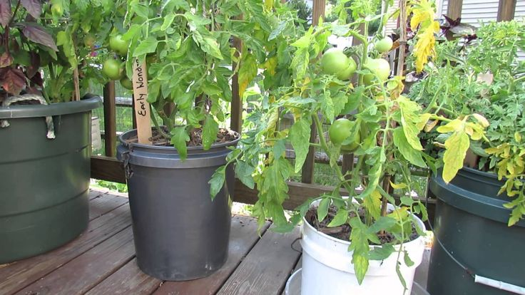 Garden Questions Does Tomato Container Size Matter Do 400 x 300