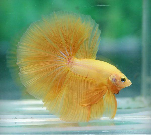 Yellow Halfmoon Betta | * Fish * | Pinterest | Tropical ...