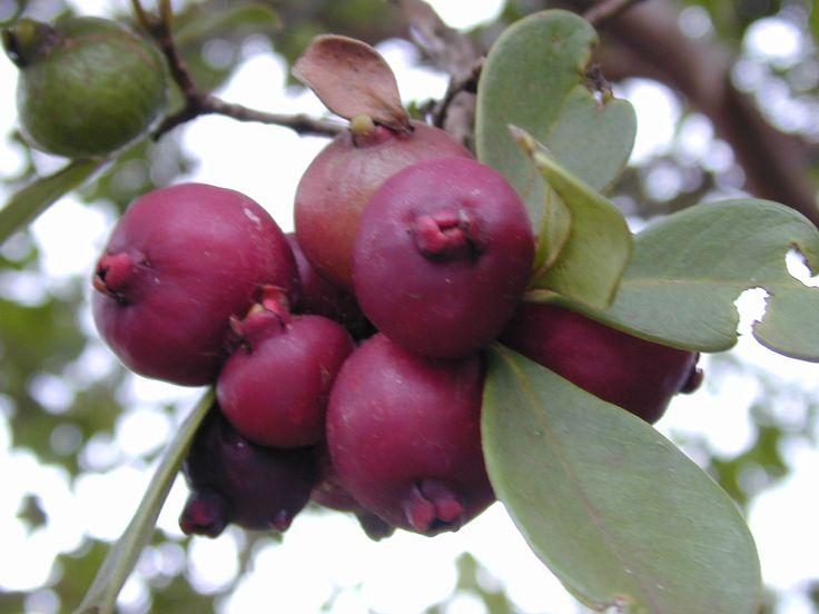 Psidium cattleianum (fruits), strawberry guava, Maui, Haiku