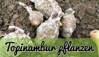 uprawy karczocha Jerusalem - roślin, utrzymania, żniwa