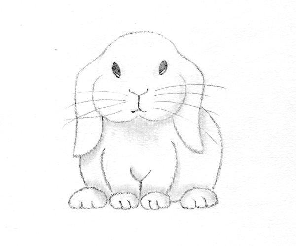 Iepure de camp - cum se deseneaza, desen pas cu pas.