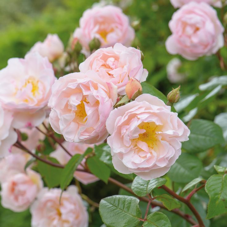 The Lady of the Lake from David Austin.  Rambling Rose. Repeat Flowering.  Highly Fragrant.  Ideal for shade