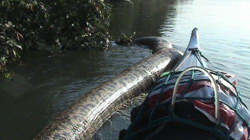 Anaconda-зеленая (Eunectes murinus)