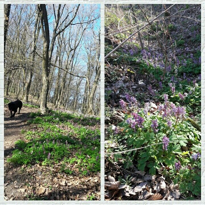 Spring walk in the woods. Its so great to feel the sun and see the flowers blossom finally 😊#spring#woods#labrador#flowersblossom#farmhouse