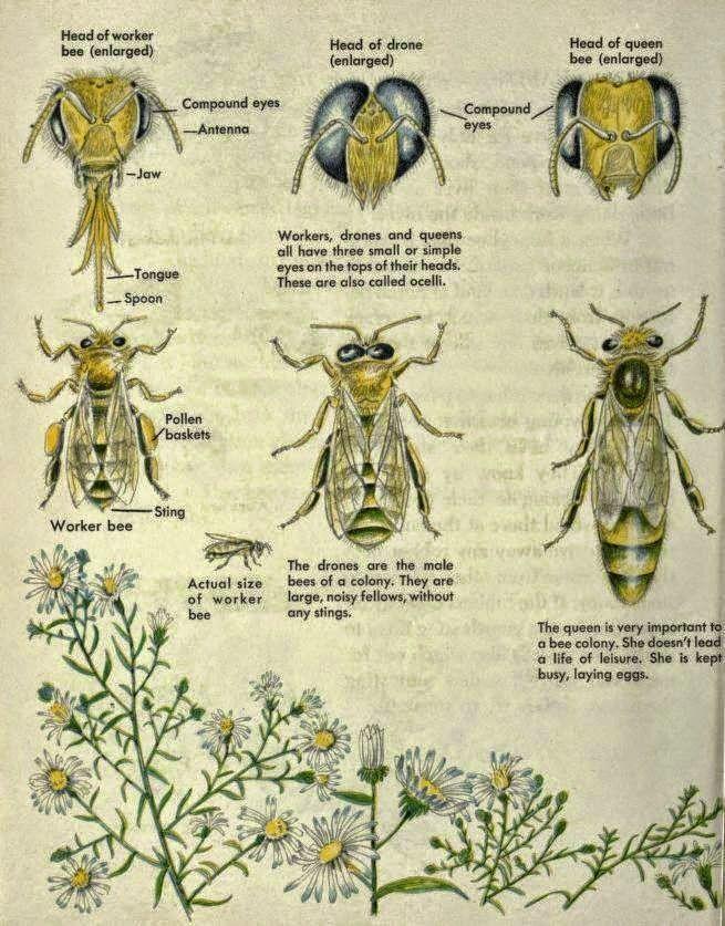 Posters: Clasificación, labores y anatomía de las abejas en ingles - Posters: Classification, work and anatomy of bees in english.