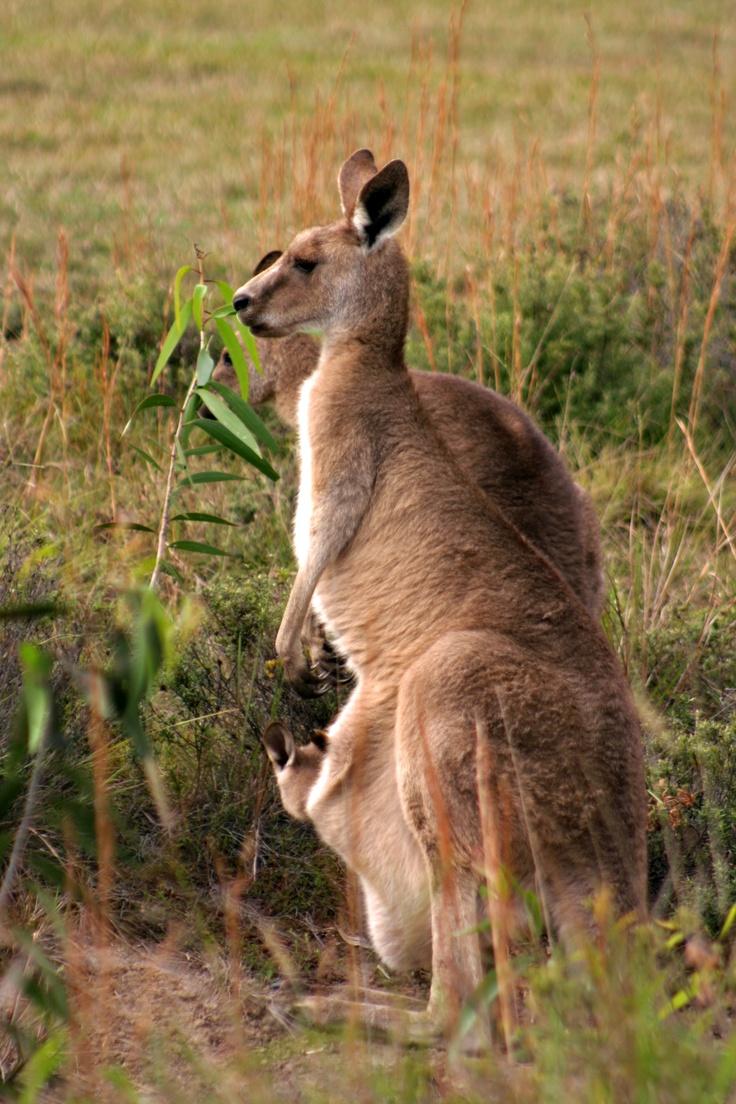 The kangaroos of australia