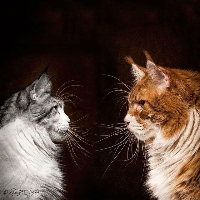 Maine Coon ırkı kediler ABD'nin Maine eyaletinin dünyaya kazandırdığı çok özel hayvanlardır. Hem de çok özel. Bu kediler belki de evcilleştirilmiş en büyük kediler. Erkekler 5.5 kg – 8 kg arasında ağırlığa sahipken, dişiler 4.5 kg ila 6.5 kg ağırlığa sahiptir. Epey büyüklermiş değil mi? Tabii Bu büyüklüğe gelmeleri 3-4 yıl sürüyor. Bu kediler Amerika'nın yerli türü kabul ediliyor. Ne zamandan beri varlıklarını sürdürdükleri belli değil. 1950,2li yıllarda yok olma tehlikesi geçirmişler…