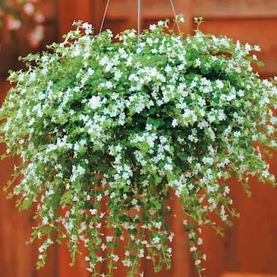 Bacopa 'Snowtopia' - semishad/sun - cascading evergreen stems that burst with a profusion of white blossoms June - September. great for porch or patio.