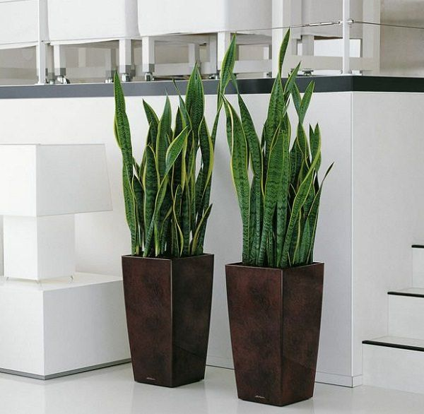 "5. MOTHER-IN-LAW'S TONGUE.  Also called the mother in law's tongue, ""snake plant"" is easiest one to grow. This plant is extremely drought-resistant, enough to be the one to keep in your house if you forget to water."