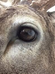 Whitetail Deer Eyes