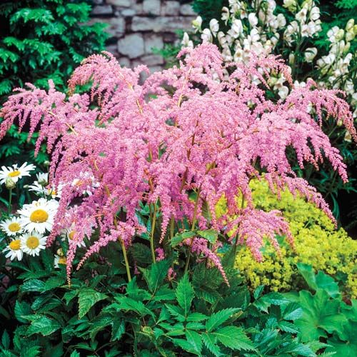 Wonderful Ostrich Fern Astilbe | Michigan Bulb | Brighten Shady Areas With Cascades  Of Coralpink Plumes. Ostrich FernShade PlantsShade ...