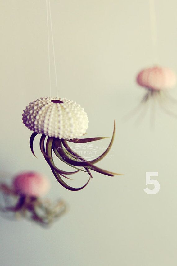 Air Plant Jelly Fish! Air plant placed inside of a sea urchin! I'm getting these for my new home.