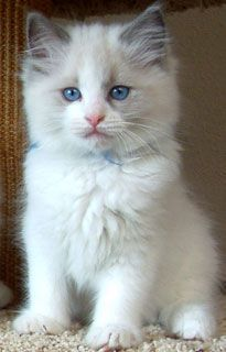 Floppy Kitty: Oregon Ragdoll Cats & Kittens For Sale Order an oil painting of your pet now at www.petsinportrai...