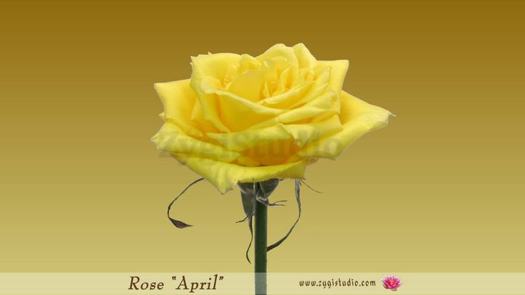 """Timelapse of Opening Yellow """"April"""" Rose."""