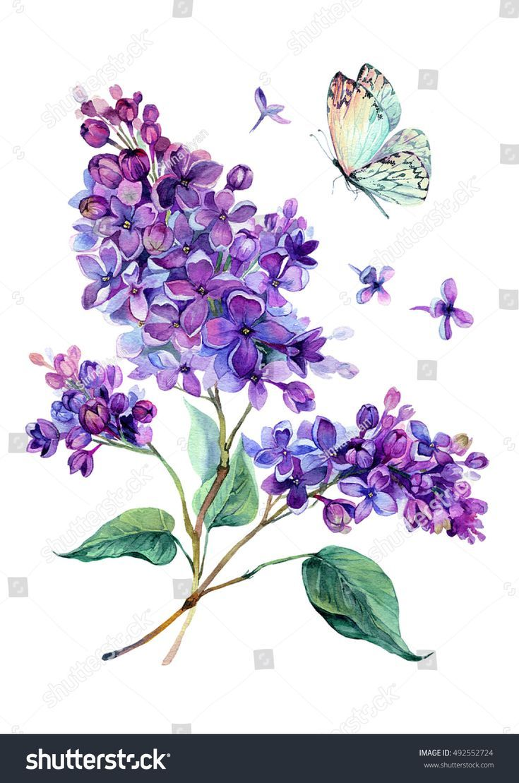 Watercolor Drawing Of Beautiful Lilac Bouquet And White Butterfly Hand Drawn Bo Watercolor Drawing Of Beautiful Flower Art Flower Drawing Flower Illustration