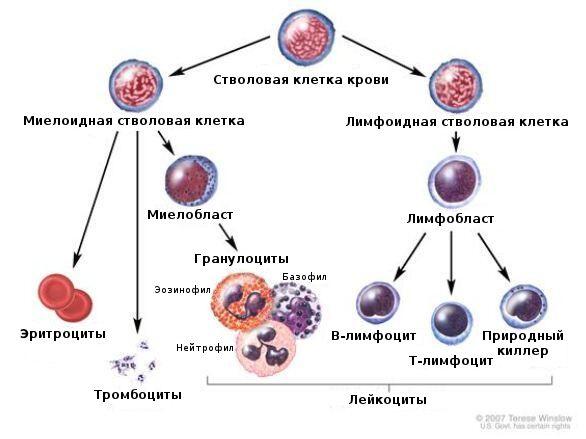 Развитие кровяных клеток. Клетки крови вырабатываются красным костным мозгом. Эритроциты переносят молекулы белка гемоглобина, обогащают клетки организма кислородом и удаляют углекислый газ. Лейкоциты защищают организм от инфекций и болезней: Т-лимфоциты распознают и запоминают различные микробы, а В-лимфоциты вырабатывают против них антитела. Тромбоциты останавливают небольшие кровотечения, создавая сгустки крови.