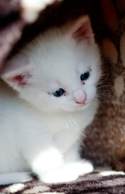 How much does a Turkish Angora Kitten Cost? Click the picture to read