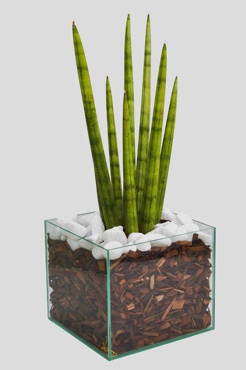 Plantas ideais para ambientes internos. Lança-de-São-Jorge (Sansevieria cylindrica): da mesma família, cultivada à meia-sombra, não recebe muita água.