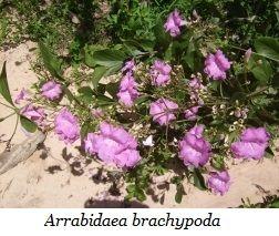 Unesp desenvolve fármaco para tratamento da doença de Chagas  Pesquisadores da Unesp estão desenvolvendo um novo fármaco para o tratamento da doença de Chagas feito à base da planta medicinal cervejinha-do-campo (Arrabidaea brachypoda)
