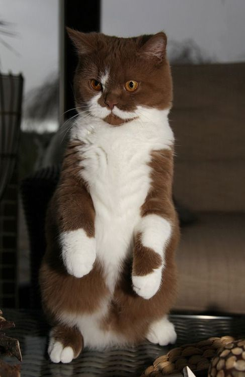 """If this were my cat, I would definitely name him Cadbury.  Not only does he look like chocolate and milk, he has a British demeanor, too.  """"Dog!  Stop that blasted barking at once! It is MOST UNORTHODOX!"""""""