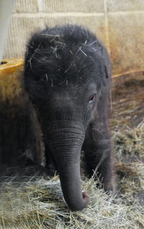 New-born elephant baby in Budapest zoo.