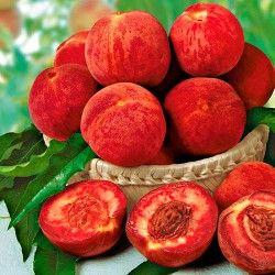 Персик Рубино в Беккер -  минус 30 гр