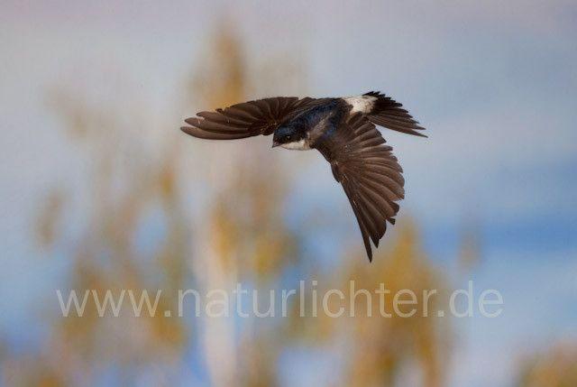 R7815 Mehlschwalbe im Flug, House Martin flying