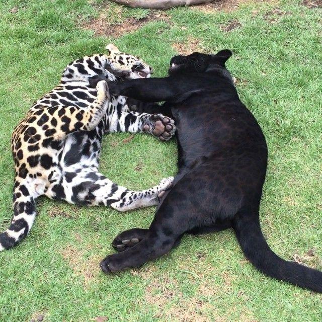 Save Big Cats Instagram