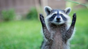 Preview wallpaper raccoon, paws, animal, funny 1920x1080