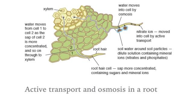 Transport in Plants |Osmosis In Plant Roots