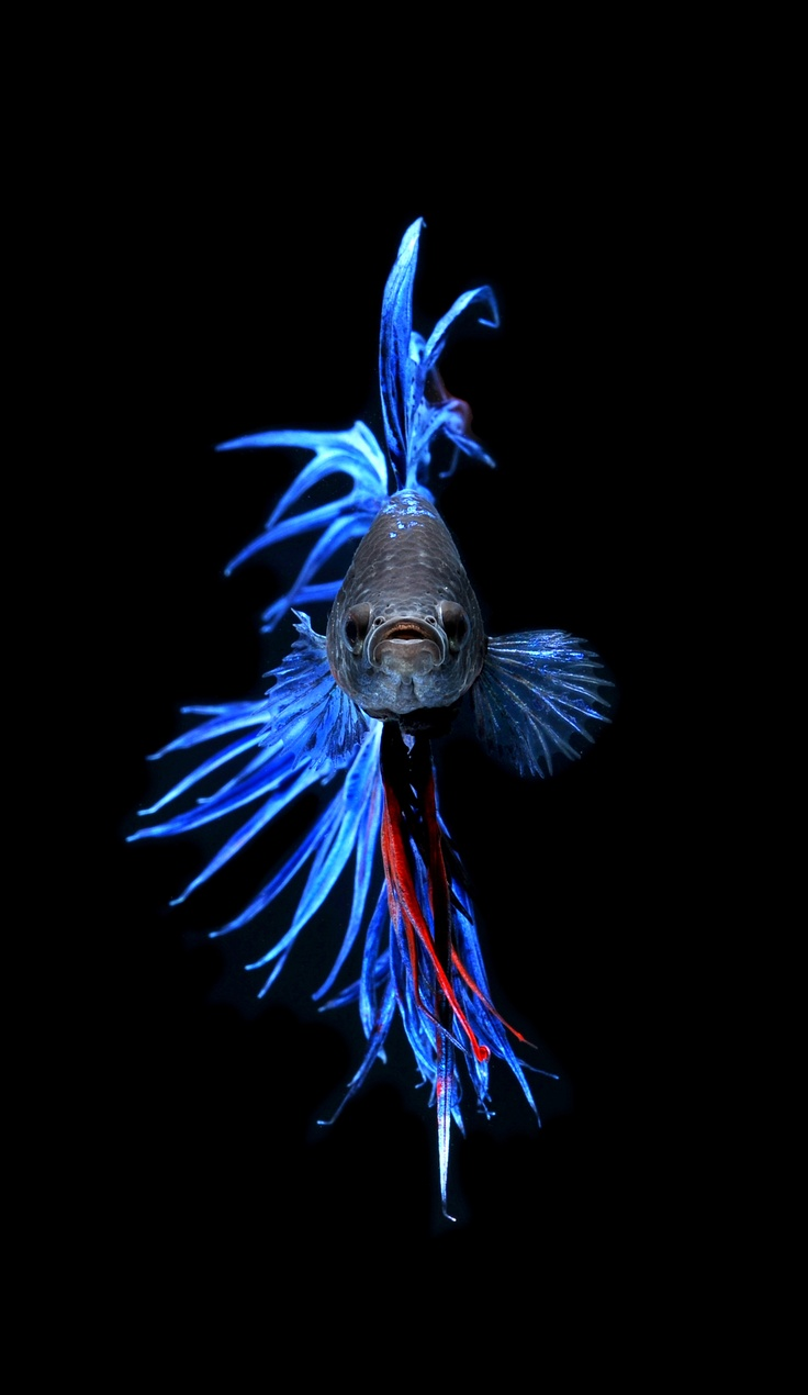 how to train a betta fish to fight
