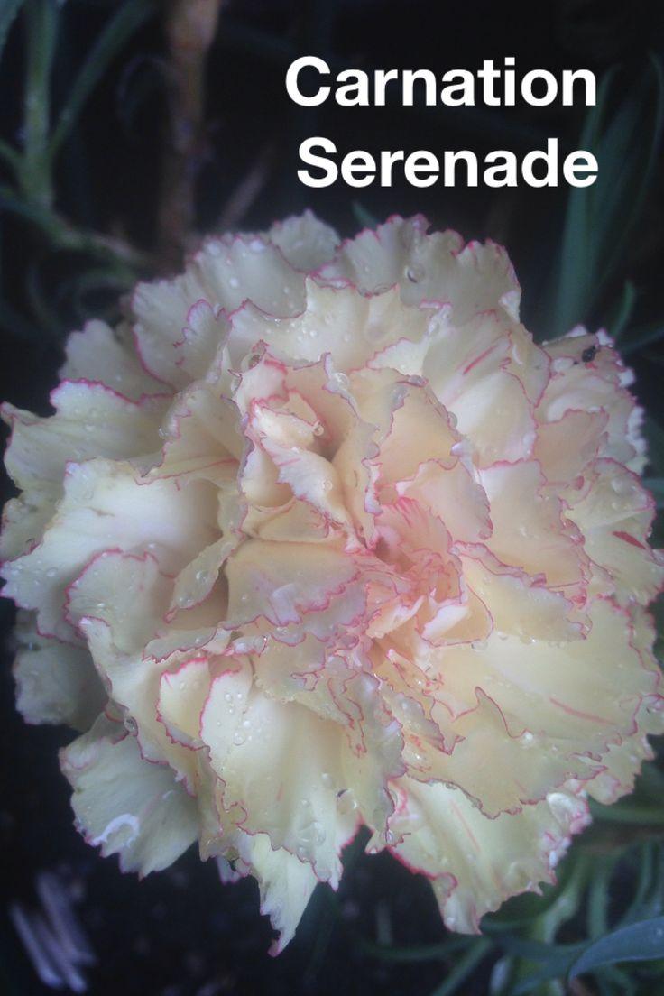 CARNATION serenade