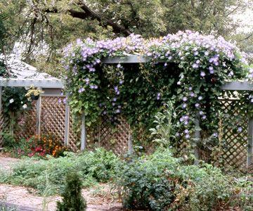 Morning gloryBeautiful Flower, Fence, Morning Glories, Plants Encyclopedia, Glories Vines, Gardens Trellis, Mornings Glories Flower, Summer, Android App