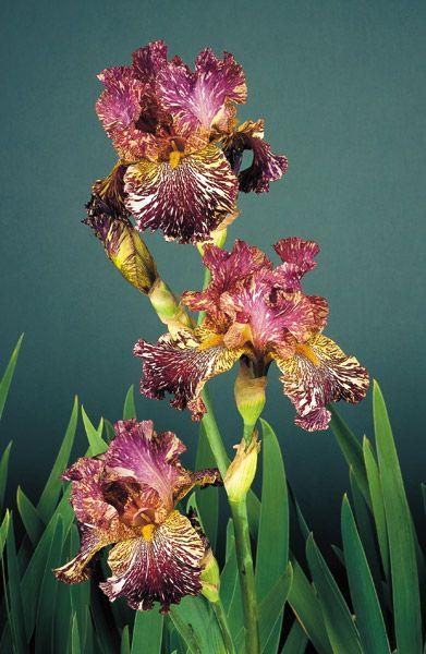 "Bewilderbeast Kasparek, brad 1995 (TB) Style: Broken Color Height: 36"" Color: Purple with White Streaks Bloom Season: Midseason Fragrant: No Rebloom: No Awards: HM '97, AM '99"