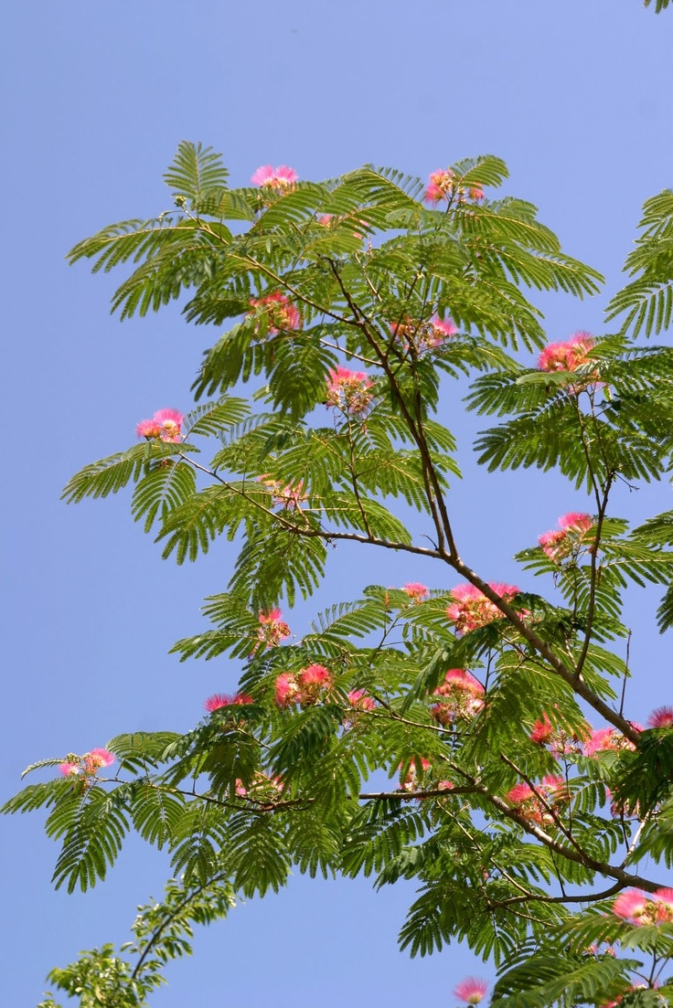 Mimosa tree medicinal uses for What do we use silk for