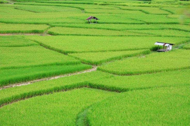 Field : Nan : Thailand