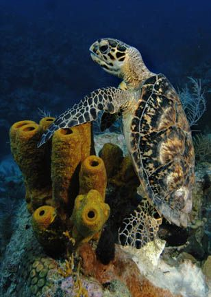 Hawksbill Sea Turtle, photo by Cathy Church, the best underwater photographer from Grand Cayman.