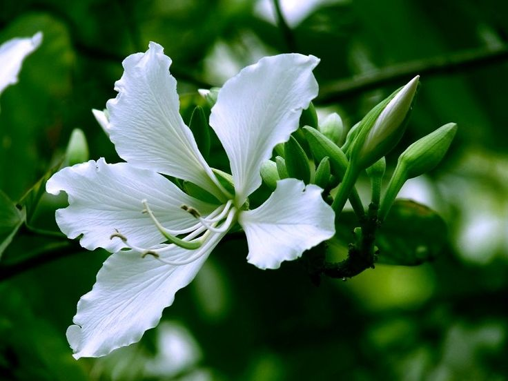 Beautiful White Bauhinia Flower