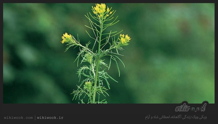 خاکشیر گياهي است علفي يكساله يا دو ساله كه ارتفاع ساقه آن تا يك متر نيز مي رسد این گیاه دارای خواص بسیاری است که در این مطلب Medicinal Plants Plants