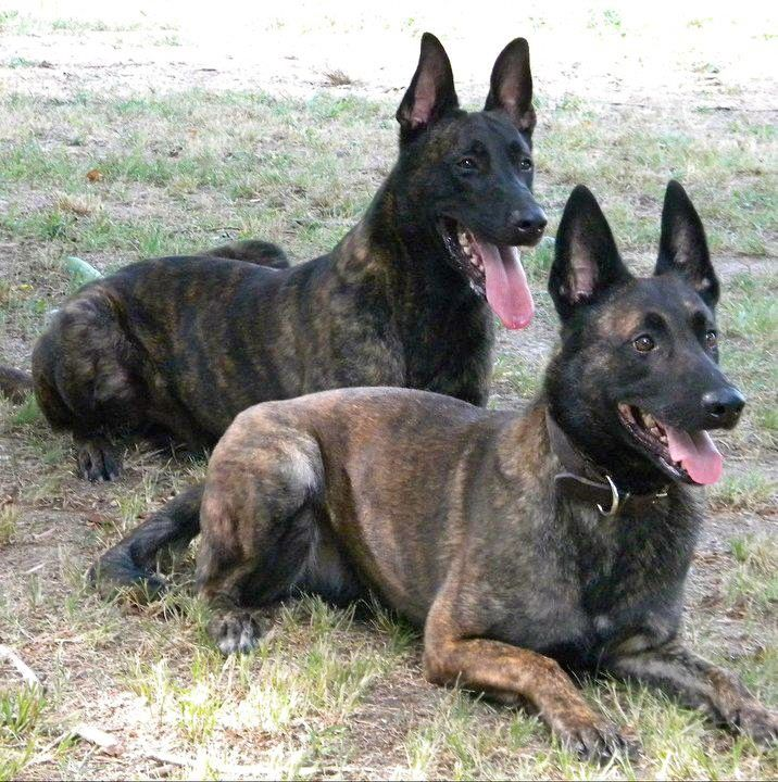 Tommy Haus Berry D & Bentley Vom Berry D ( Dutch Shepherd ) www.EastTNK9.com
