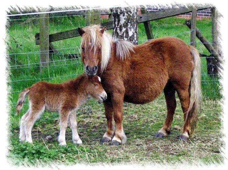 Surrey Stud - Miniature Shetland Ponies & Foals For Sale - Surrey ...