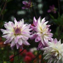 Dahlia décoratif Victoria Ann