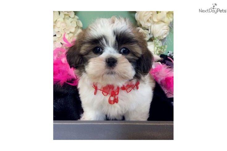 Butternut Shih Tzu Puppy For Sale Near Jacksonville Florida